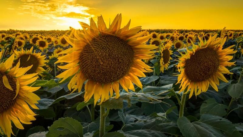 Suncokreti-sunflowers Suncok10