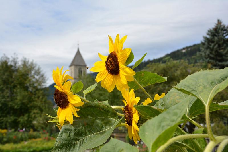 Suncokreti-sunflowers Suncok11