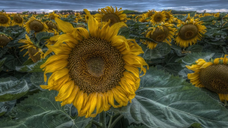 Suncokreti-sunflowers Suncok12