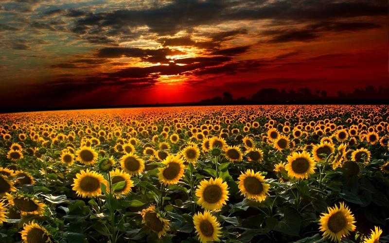 Suncokreti-sunflowers Suncok13