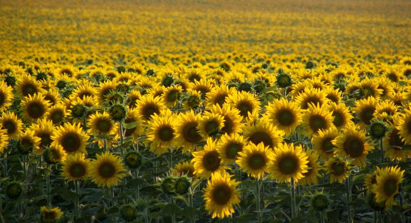 Suncokreti-sunflowers Suncok14