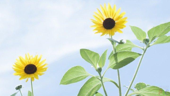 Suncokreti-sunflowers - Page 3 Suncok15