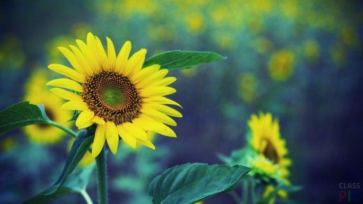 Suncokreti-sunflowers - Page 3 Suncok16