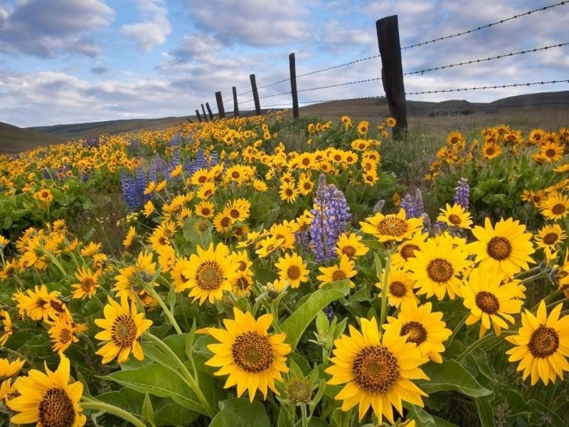 Suncokreti-sunflowers - Page 3 Suncok17
