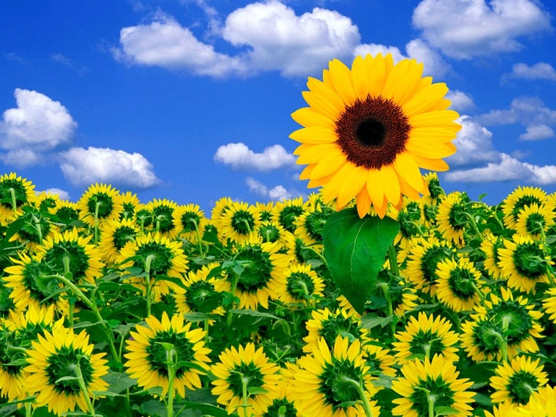 Suncokreti-sunflowers - Page 5 Suncok23