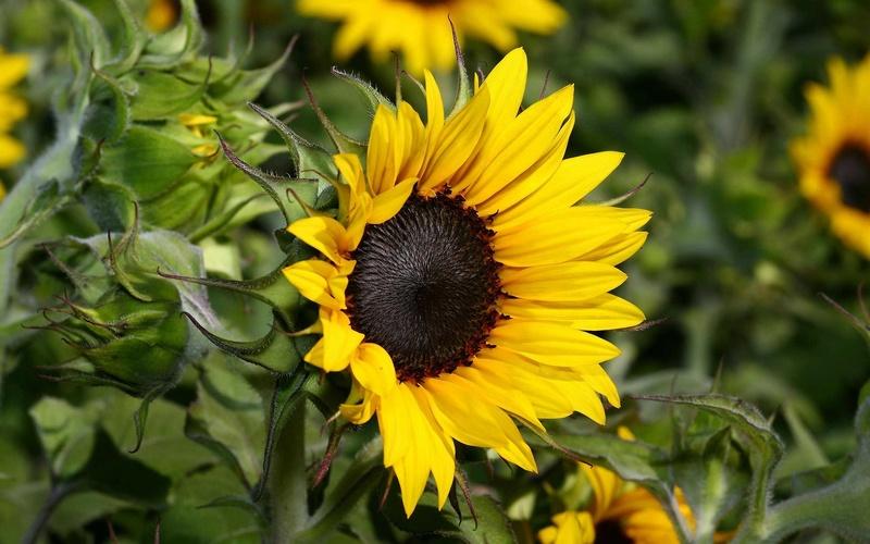 Suncokreti-sunflowers - Page 5 Suncok24