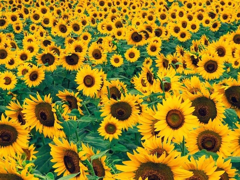 Suncokreti-sunflowers - Page 5 Suncok26