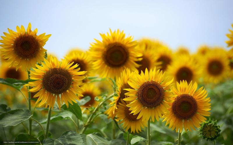 Suncokreti-sunflowers - Page 6 Suncok27