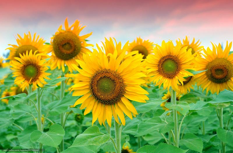 Suncokreti-sunflowers - Page 6 Suncok29