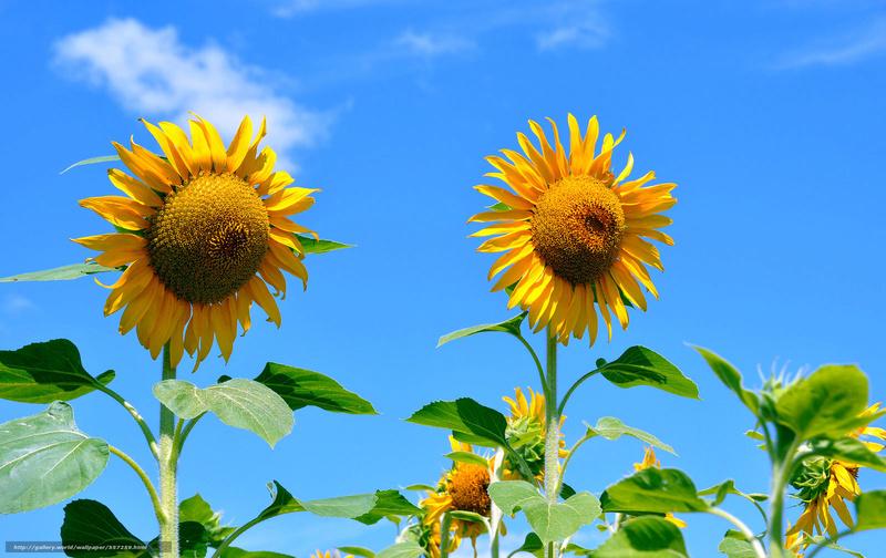 Suncokreti-sunflowers - Page 6 Suncok31