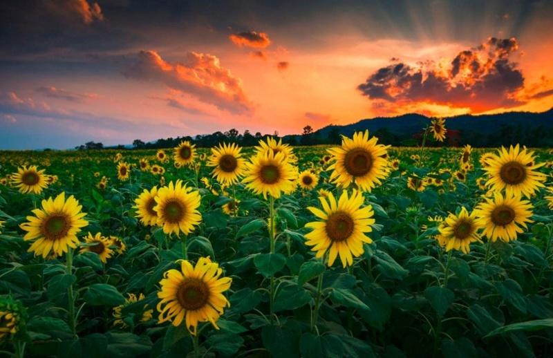 Suncokreti-sunflowers - Page 3 Sunflo10