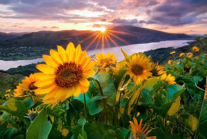 Suncokreti-sunflowers - Page 3 Sunny-10