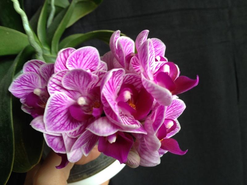 Phalaenopsis 'Sogo Vivien' Image20