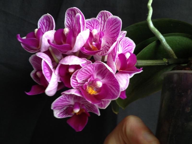 Phalaenopsis 'Sogo Vivien' Image21