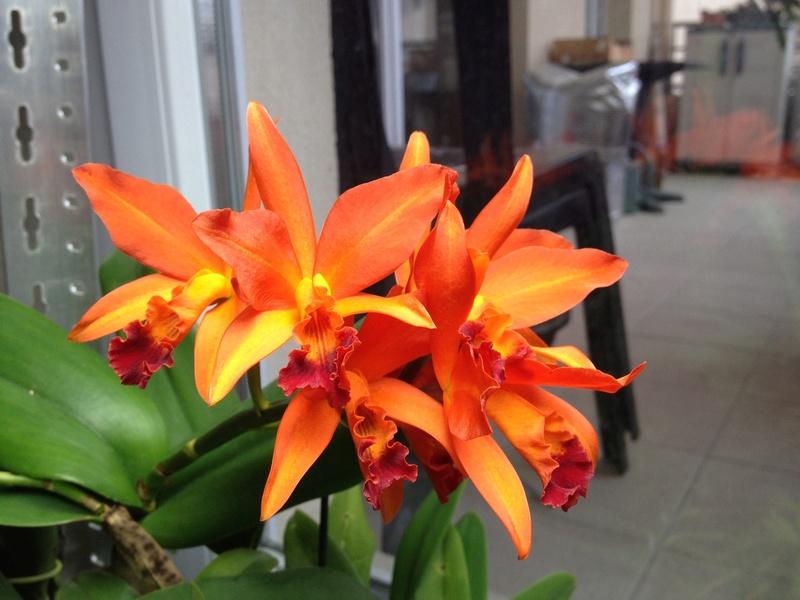 Cattleya hybride orange Image30