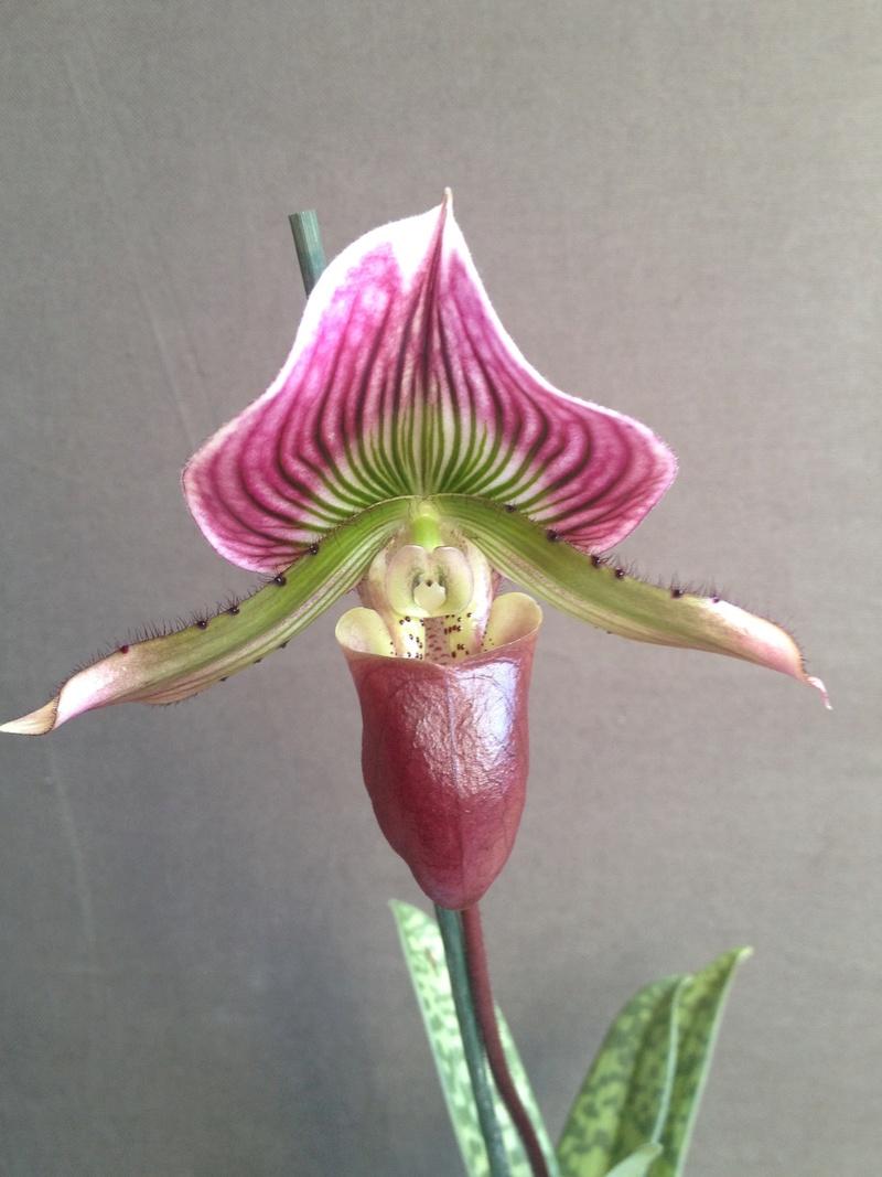 Paphiopedilum callosum var. thaïlandense  Image42