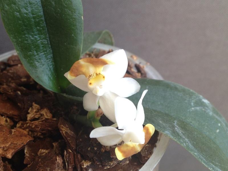 Phalaenopsis lobbii var. flava Image47