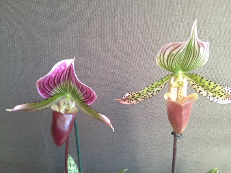 Paphiopedilum callosum var. thaïlandense  Image48