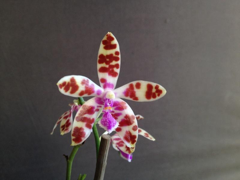 Phalaenopsis mariae Image52