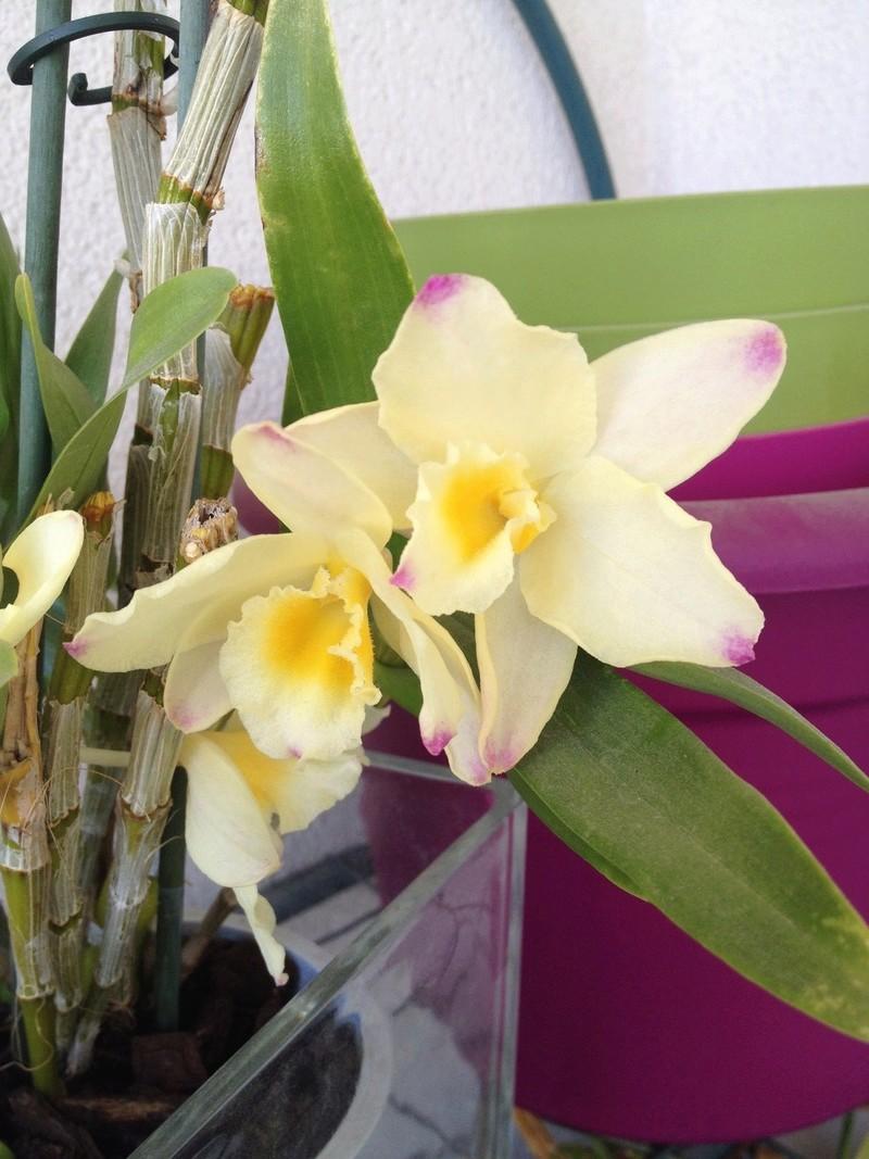 Dendrobium nobile jaune Image59
