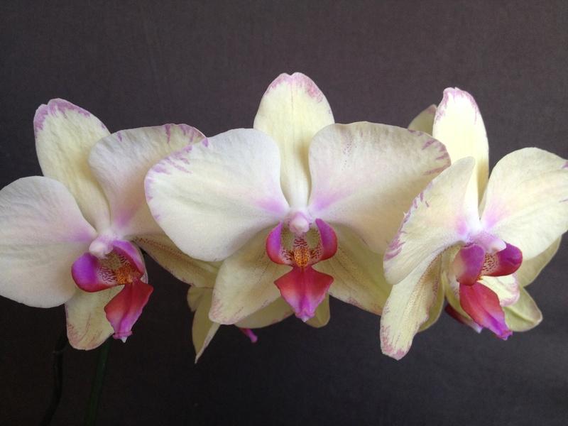 Phalaenopsis hybride Image64