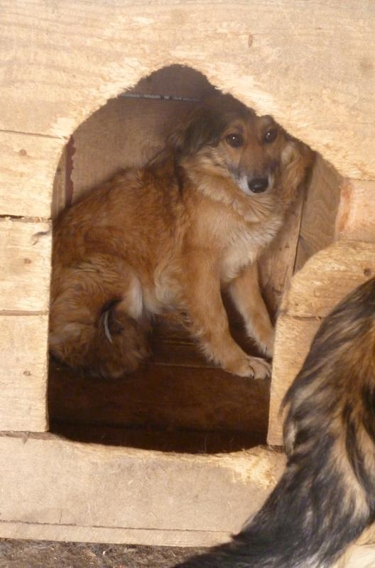 SUNFALL -  SUNFALL - femelle croisée de taille moyenne, née en 2011 - REMEMBER ME LAND P1060112