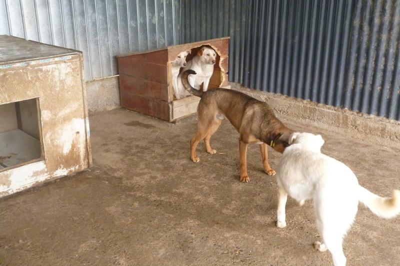 OSCAR - mâle, né environ avril 2012, taille moyenne - En FA chez DarkKing (42) replacé en FA chez Sylvie (02)  - Page 2 P1060121