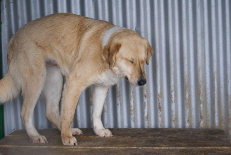 SHYVA - femelle croisée Labrador de taille moyenne à grande, née environ en février 2014 - (Pascani) adoptée par Aurélie (Belgique) - DECEDEE Shyva10