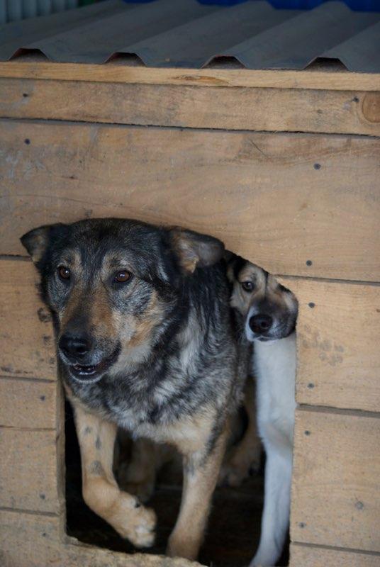 WOLF !! Plus de 4 ans de box !!  mâle croisé berger - grande taille - né env 2014 (PASCANI) - REMEMBER ME LAND - Page 2 Wolf10