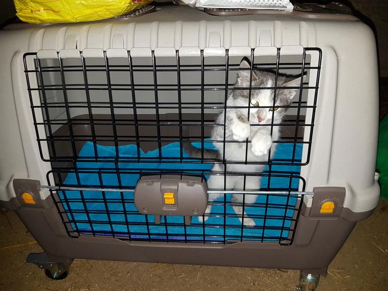 VOYOU, chaton mâle, né en Août/septembre 2016 (Pascani) - en FA chez Abysse (dpt92) - ADOPTE PAR VALERIE (92) 20170211