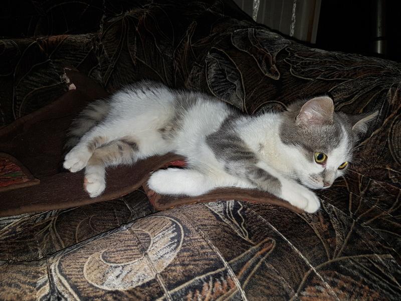 VOYOU, chaton mâle, né en Août/septembre 2016 (Pascani) - en FA chez Abysse (dpt92) - ADOPTE PAR VALERIE (92) 20170212