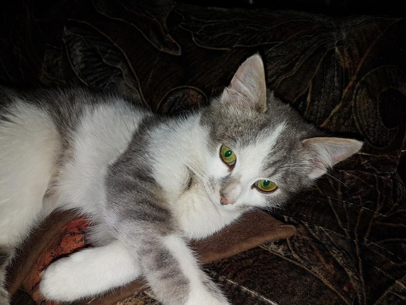 VOYOU, chaton mâle, né en Août/septembre 2016 (Pascani) - en FA chez Abysse (dpt92) - ADOPTE PAR VALERIE (92) 20170214