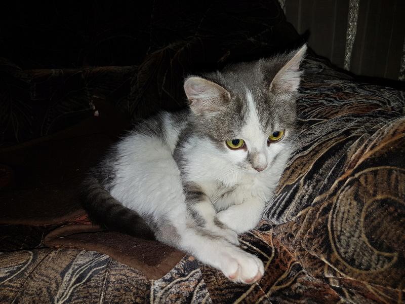VOYOU, chaton mâle, né en Août/septembre 2016 (Pascani) - en FA chez Abysse (dpt92) - ADOPTE PAR VALERIE (92) 20170215