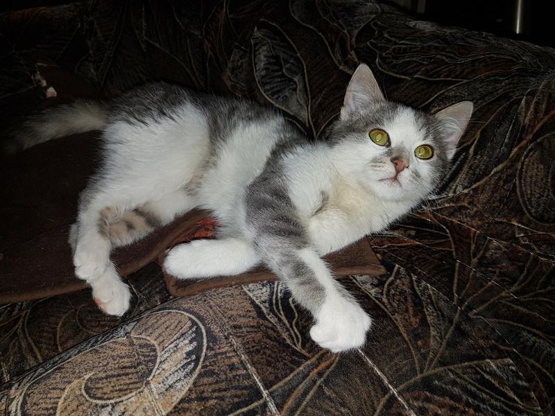 VOYOU, chaton mâle, né en Août/septembre 2016 (Pascani) - en FA chez Abysse (dpt92) - ADOPTE PAR VALERIE (92) 20170216