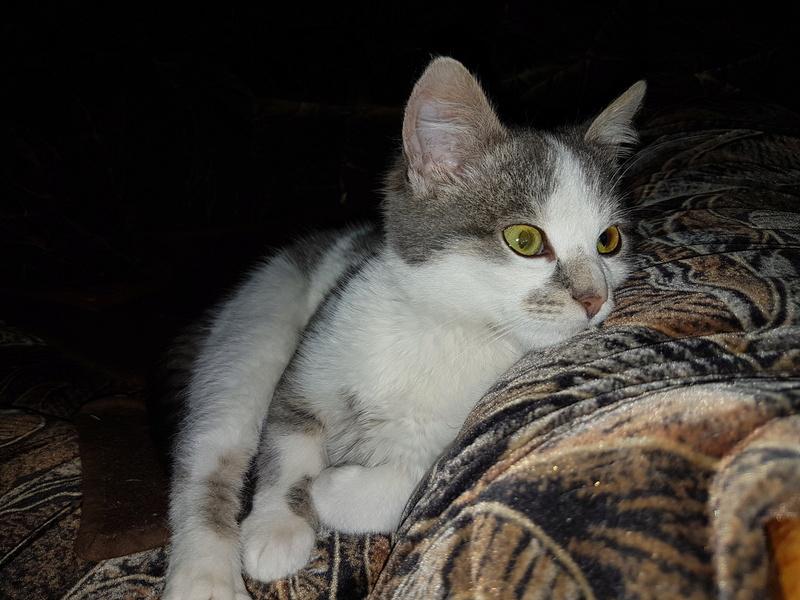 VOYOU, chaton mâle, né en Août/septembre 2016 (Pascani) - en FA chez Abysse (dpt92) - ADOPTE PAR VALERIE (92) 20170218