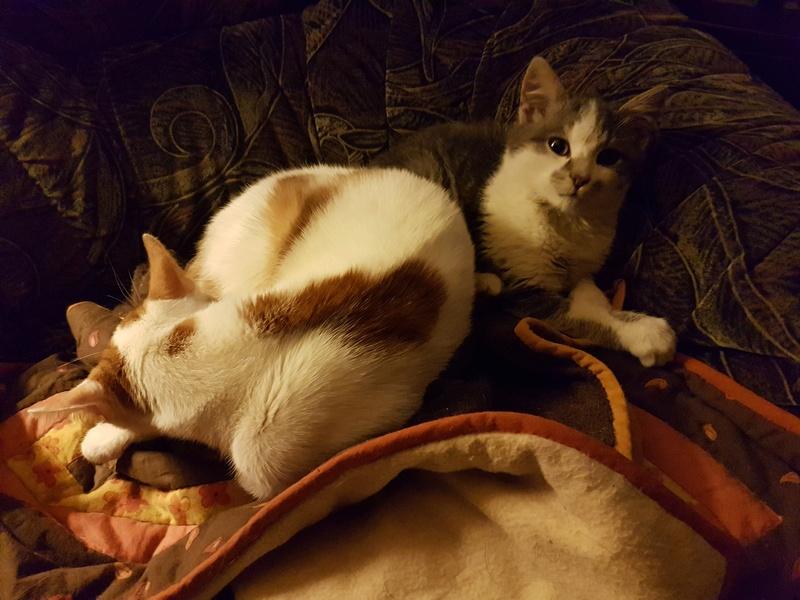 VOYOU, chaton mâle, né en Août/septembre 2016 (Pascani) - en FA chez Abysse (dpt92) - ADOPTE PAR VALERIE (92) 20170220