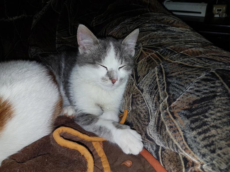 VOYOU, chaton mâle, né en Août/septembre 2016 (Pascani) - en FA chez Abysse (dpt92) - ADOPTE PAR VALERIE (92) 20170222