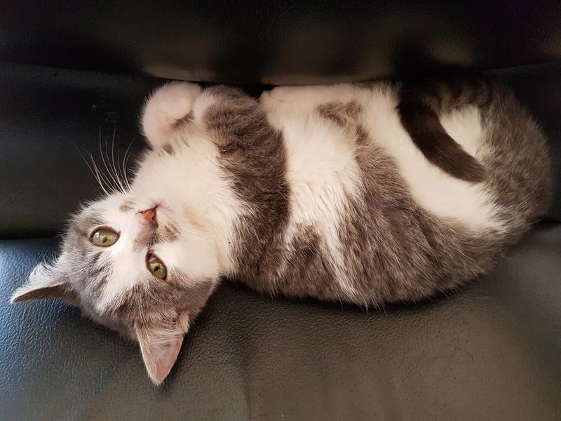 VOYOU, chaton mâle, né en Août/septembre 2016 (Pascani) - en FA chez Abysse (dpt92) - ADOPTE PAR VALERIE (92) 20170310