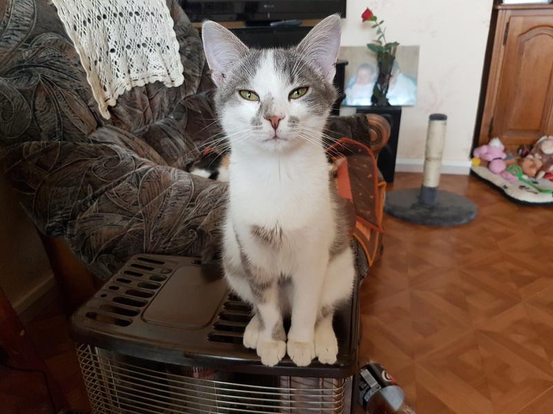 VOYOU, chaton mâle, né en Août/septembre 2016 (Pascani) - en FA chez Abysse (dpt92) - ADOPTE PAR VALERIE (92) 20170418