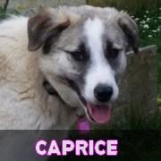 Association Remember Me France : sauver et adopter un chien roumain Capric14