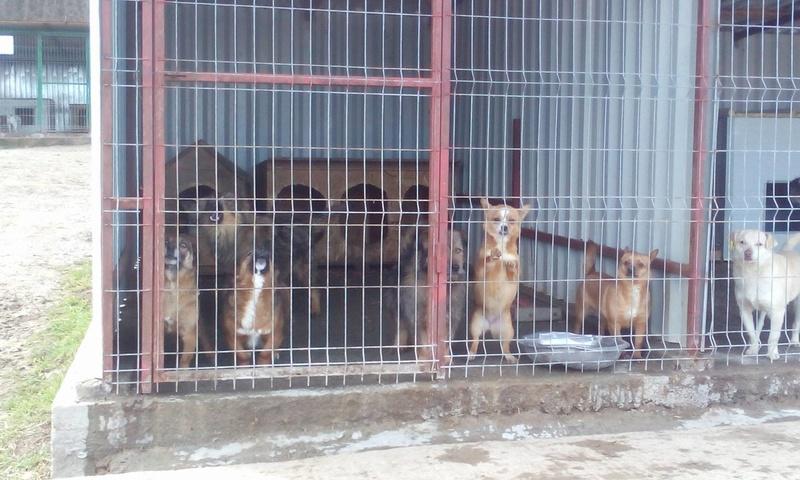 YODA - chien croisé fox mâle de taille petite né en 2016 - (Pascani) REMEMBER ME LAND- adopté par Leo (Belgique) Casper13