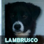 Association Remember Me France : sauver et adopter un chien roumain Lambru10