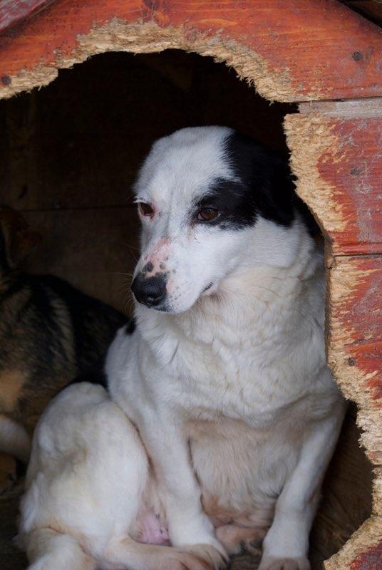 MILKA - femelle croisée de taille moyenne, née environ en 2011 - (Pascani) REMEMBER ME LAND  ADOPTEE PAR Delphine (27) Milka12