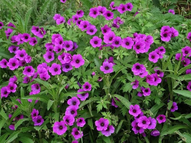 ces quelques fleurs de nos jardins Gyrani10