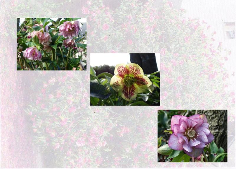 deux ou trois fleurs dans le vent - Page 2 Helleb11