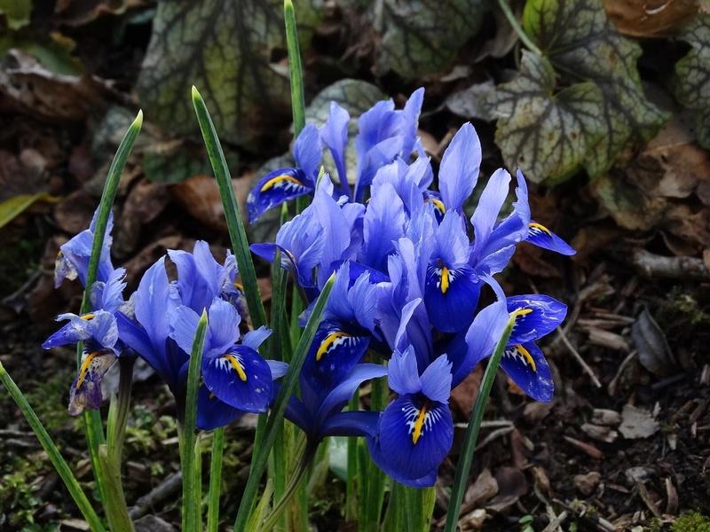 deux ou trois fleurs dans le vent - Page 2 Iris_r10