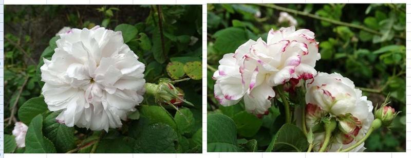 tous ces rosiers que l'on aime - floraisons - Page 2 Leda_r10