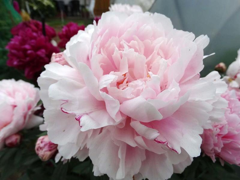 ces quelques fleurs de nos jardins Pivoin10
