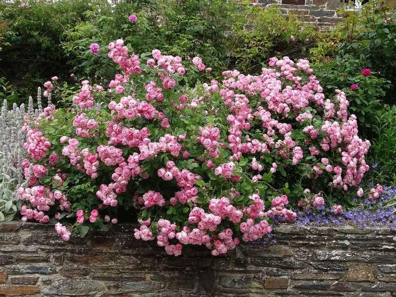 ces quelques fleurs de nos jardins - Page 2 Raubri10