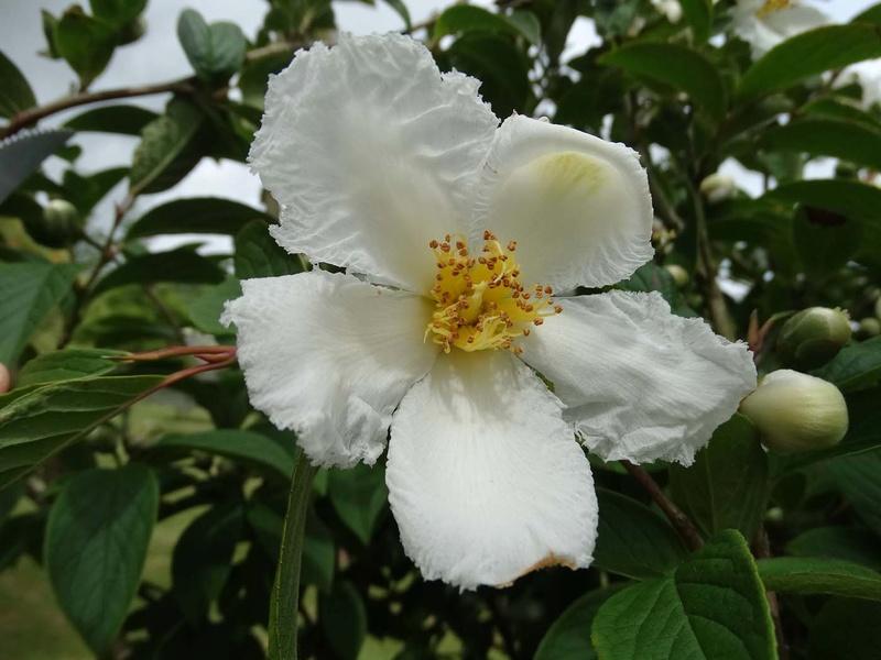 ces quelques fleurs de nos jardins - Page 2 Stewar10